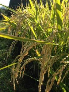 昨年の無農薬。無肥料栽培のひのひかり
